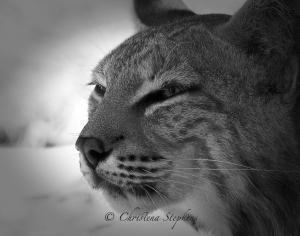 Bobcat_B&W_sig