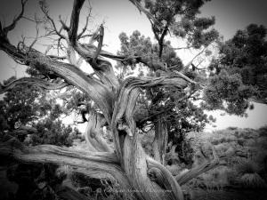 Juniper Tree Sig copy