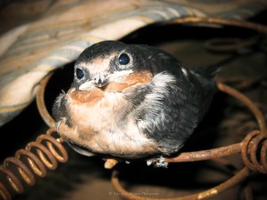 Baby Barn Swallow_Sig