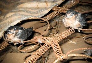 Baby Barn Swallows_Sig
