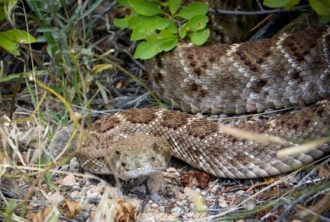 Bandy Rattlesnake Stare_sig copy