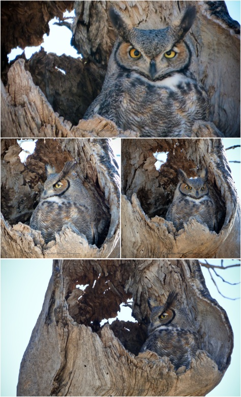 Muleshoe Owl-Four-High Res