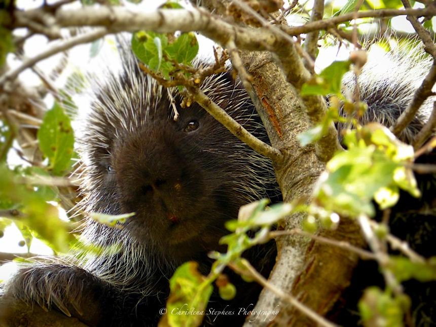 Porcupine Best-Sig