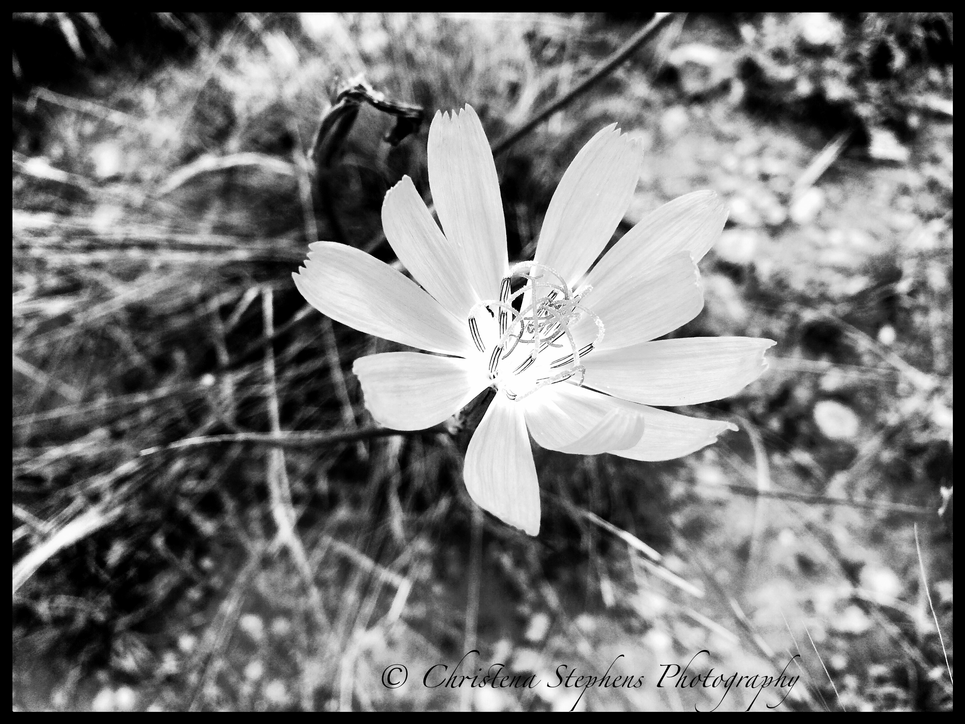 Skeleton flower in black and white forgotten winds skeleton flower is bright lavender color they are delicate and only bloom during the morning hours on this humid windless day i captured this image mightylinksfo