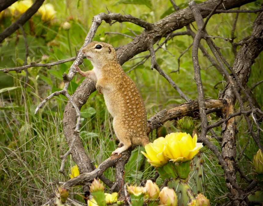 Mexican Ground Squirrel Moment Ed -sig May 2016 3RF