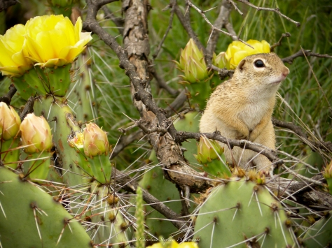 Mexican Ground Squirrel  sig May 2016 3RF