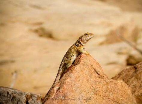 Collared Lizard-Sig