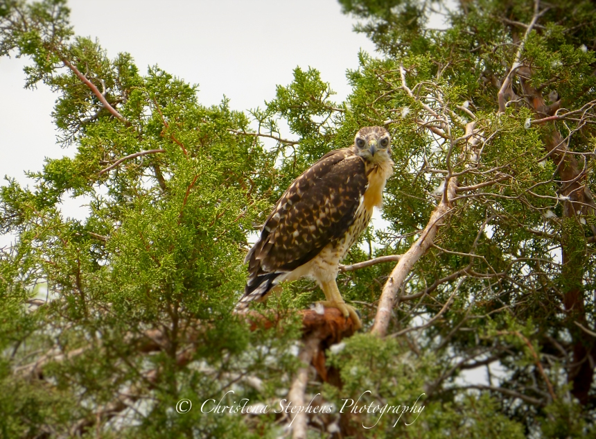 Red Tailed Hawk Juvenile Sig
