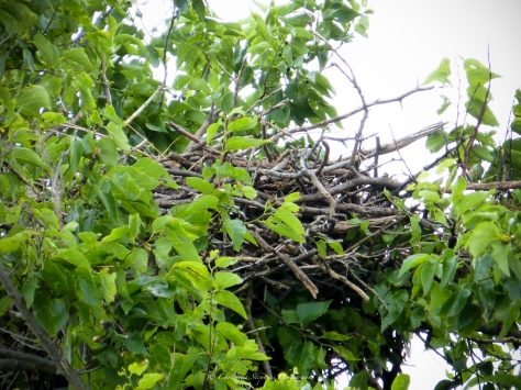 Red-tailed Hawk Nest-Sig