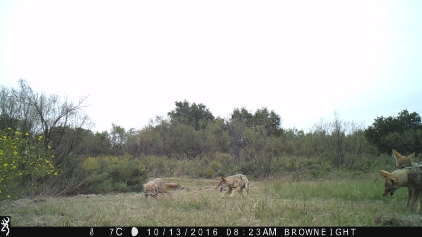 Coyote Pups and update