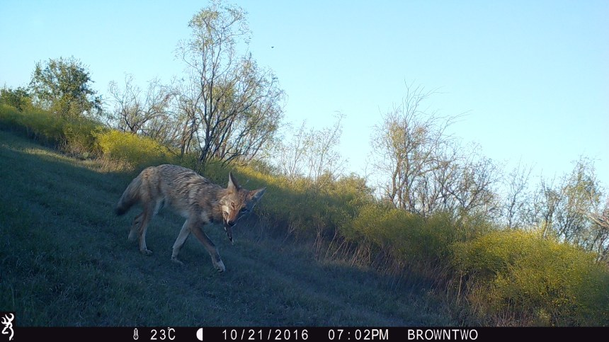 Coyote Meal - 3RF Research - Camera Trap