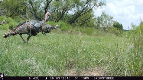 3RF Turkeys