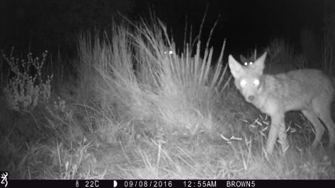 How many eyes? - Coyotes