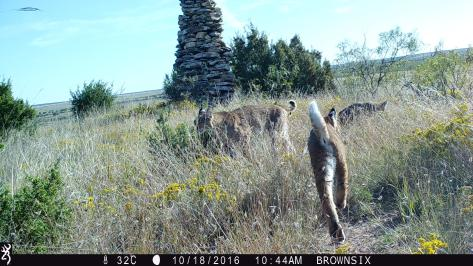 Bobcat family - 3RF Research - Camera Trap