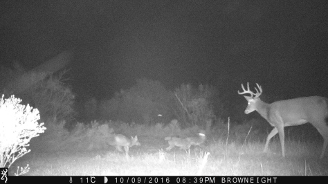 White-tail buck and coyotes - 3RF Research - Camera Trap