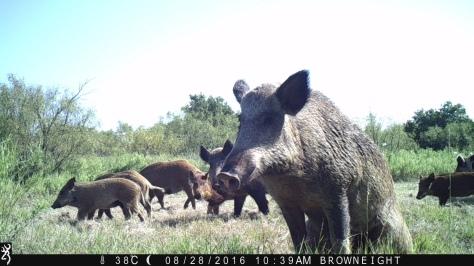 3RF Peeing Hog