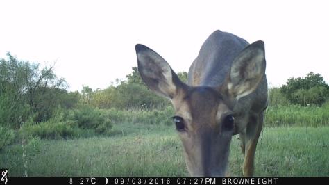 Hello - White tail deer - 3RF