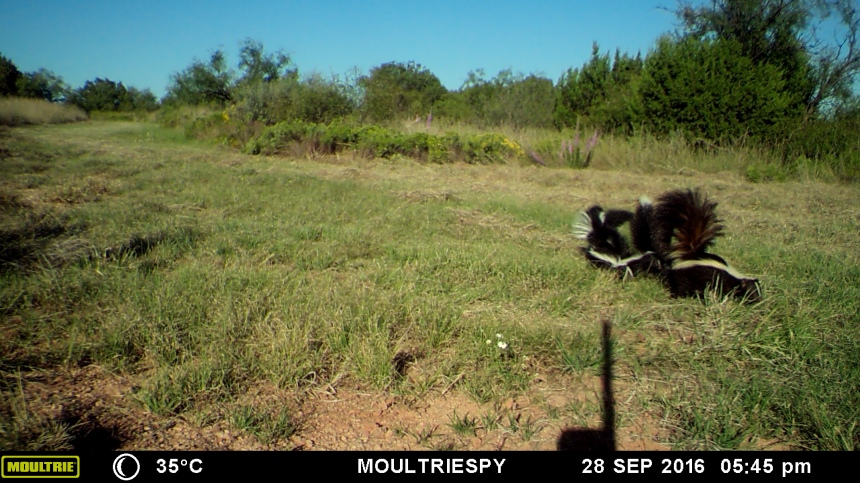 Striped Skunk - 3RF Re