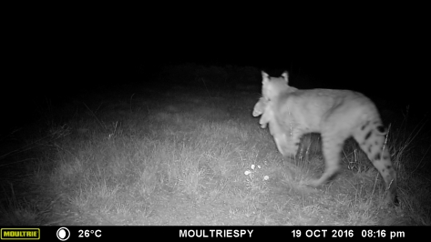 Bobcat Meal - 3RF Research - Camera Trap