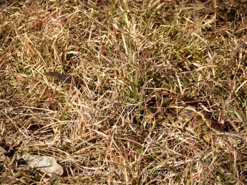 checkered-garter-snake-full-sig