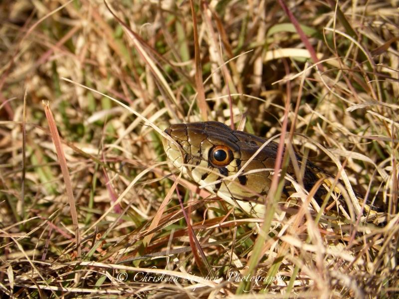Checkered Garter Snake - 3RF