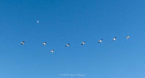 pelicans-muleshoe-nwr-sig
