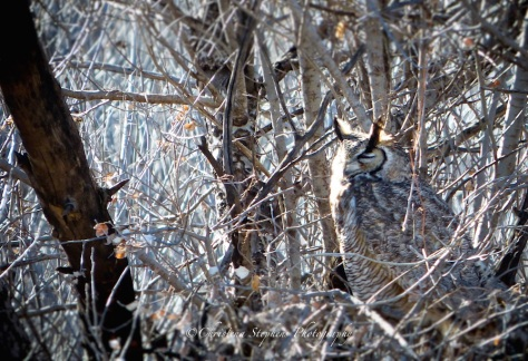 camo-of-great-horned-owl-ed-copy-imp