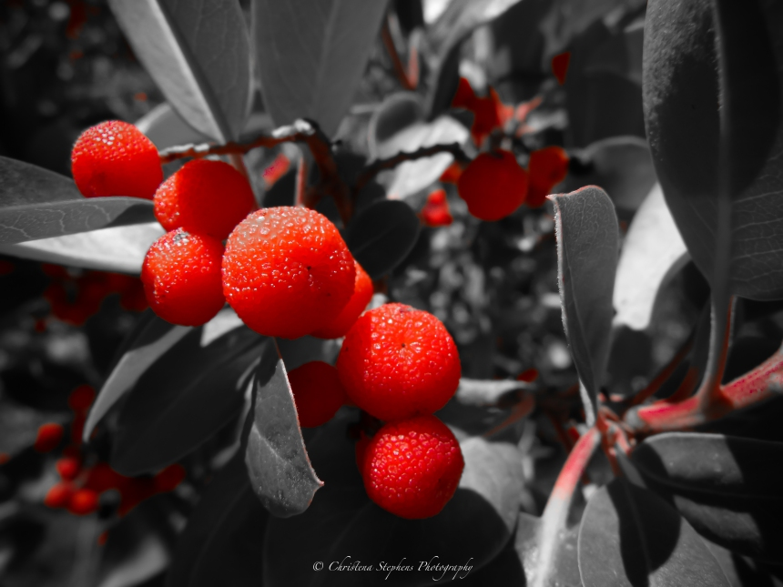 madrone-berries-red-only-sig