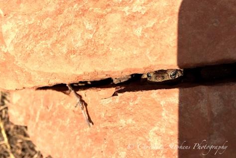 Hidden Frog - Caprock
