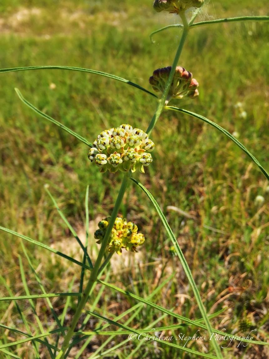 Engelmann's Milkweed
