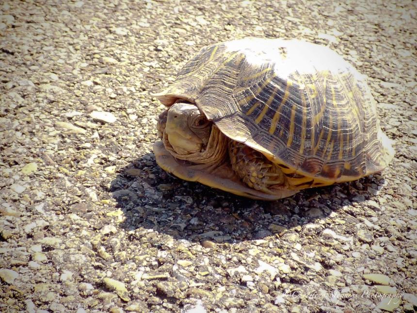 Ornate Box Turtle - BL - July 2017-imp