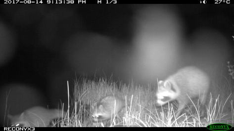 Baby Racoons Aug 2017