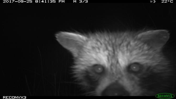 A Raccoon's Magic
