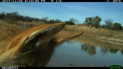 A coyote ear selfie