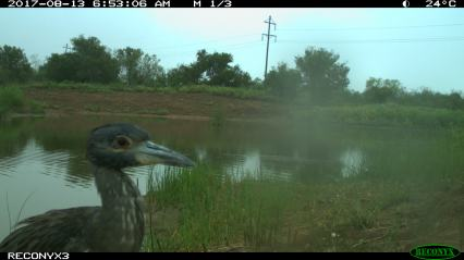 One last selfie from the baby Great Blue Heron