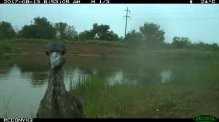 Baby Great Blue-Heron