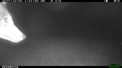 Coyote profile selfie