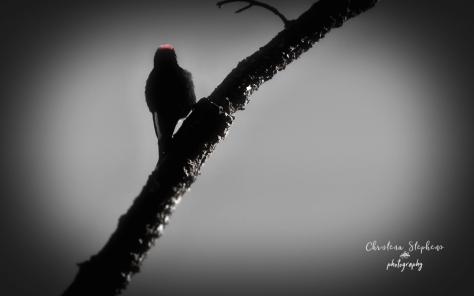 Acron Woodpecker GUMO Nov 2017 Ed BW-imp