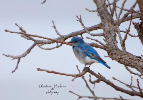 Mountain Bluebird Male 3RF Dec 2017-Ed copy-imp