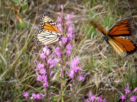 Monarchs and Liatris - 3RF Sept 2018-imp