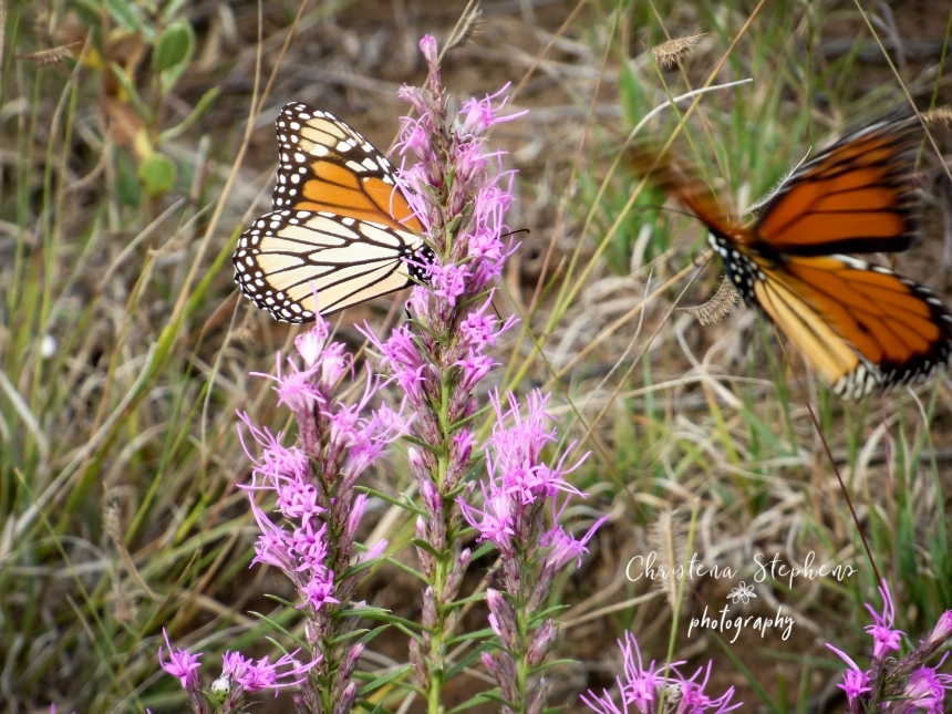 Monarchs and Liatris - 3RF Sept 2018-imp