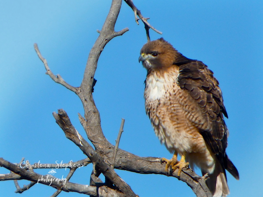 Red Tailed Hawk Muleshoe - Dec 2018-Ed 2-imp