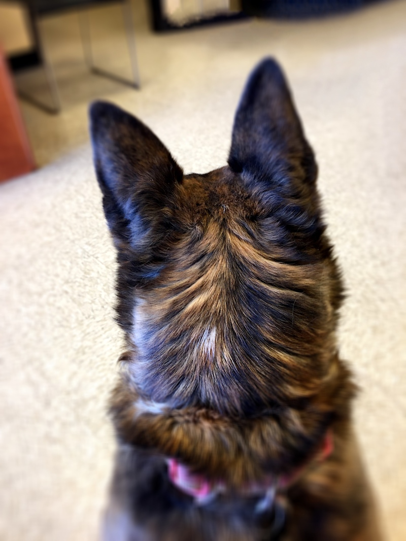 Back of a dog's head looking outward.