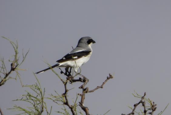Shrike Muleshoe May 2019
