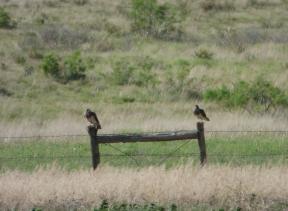 Swainsons Hawks Muleshoe May 2019