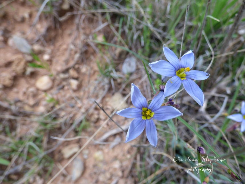 Blue Eyed Grass - 3RF April 2019 copy