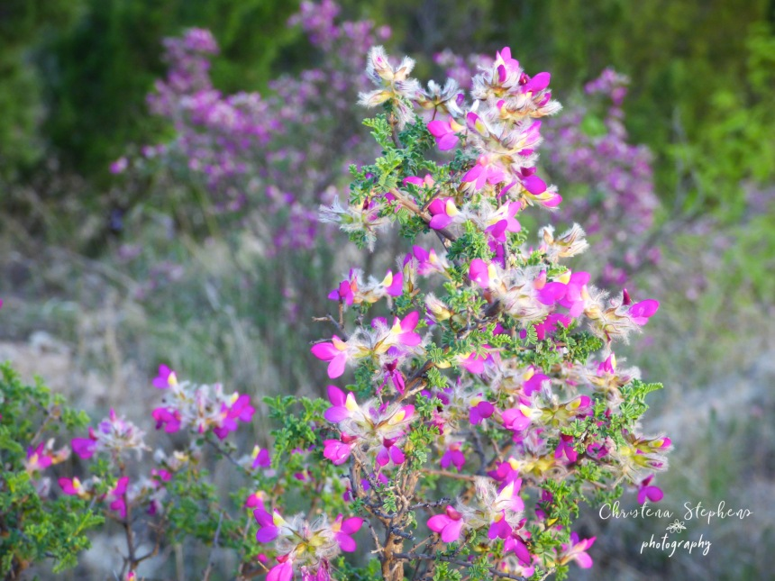 Feather Dalea - 3RF April 2019 copy