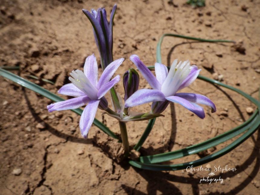 Prairie Lily - 3RF March 2019 copy