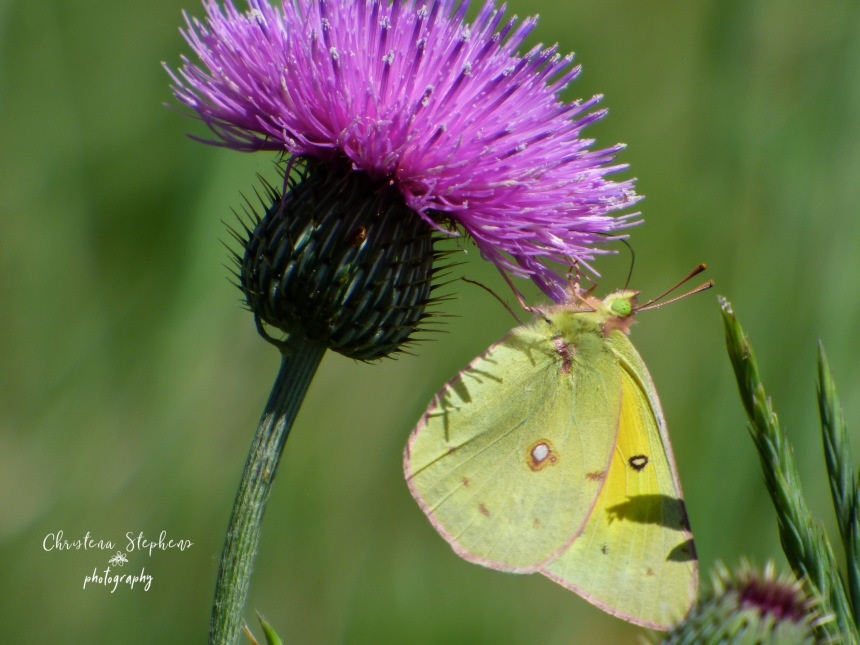 Sulfur Butterfly and Thistle - 3RF May 2019 copy-1