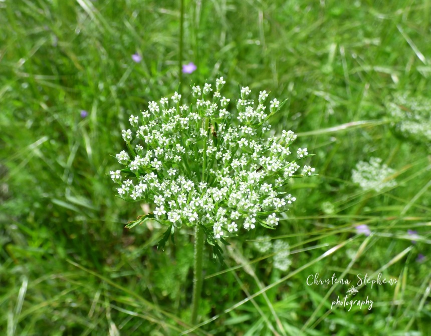 Wild Carrot Close - 3RF May 2019 copy